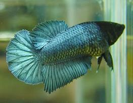 Betta splendens f halfmoon thumbnail