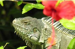 Iguana verde (Iguana iguana) thumbnail