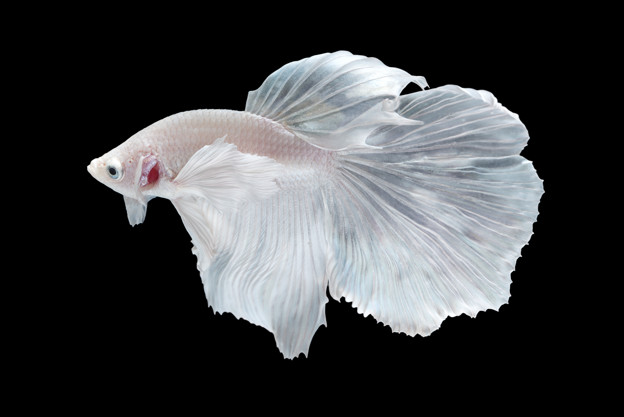Betta splendens albino M thumbnail